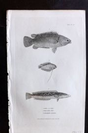 Cuvier 1834 Antique Fish Print. Anabus, Polyacanthus, Ophicephalus